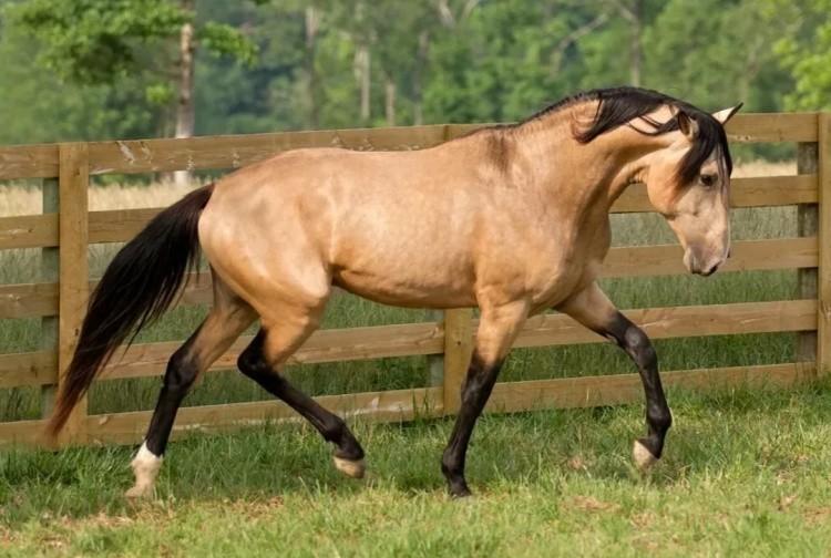 Булановая лошадь