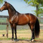 Порода лошадей тракененская