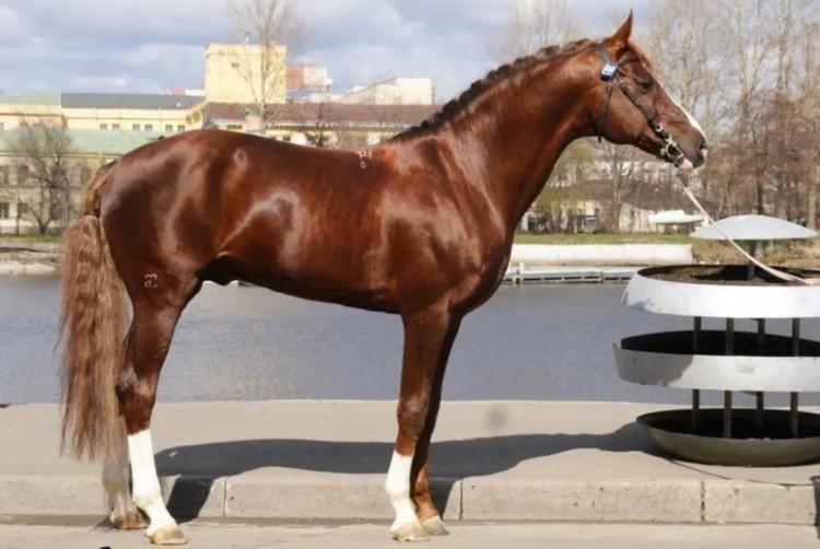 Лошадь Буденновец
