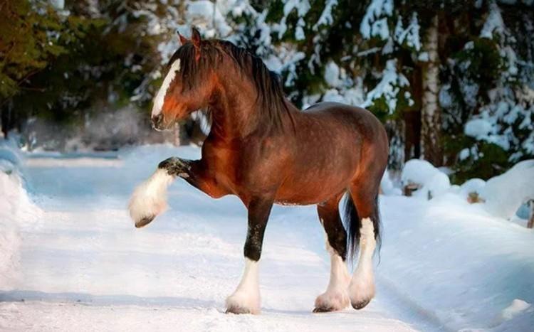 Порода лошади тяжеловоз