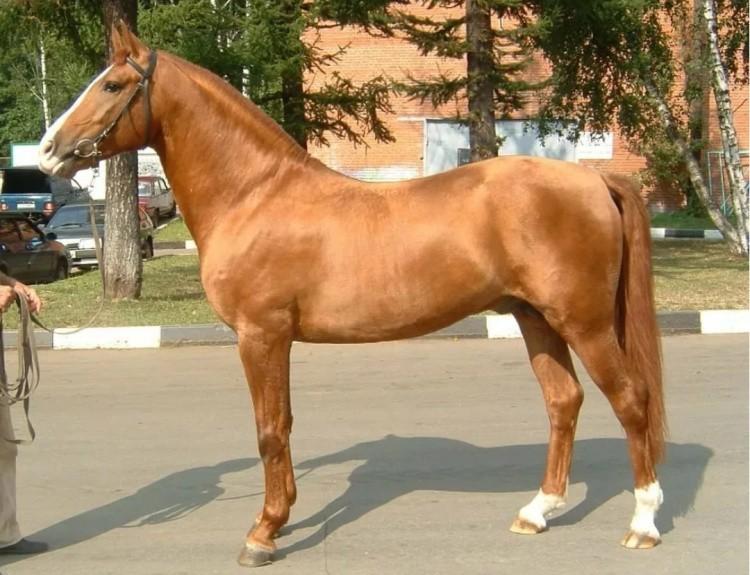 Донской конь