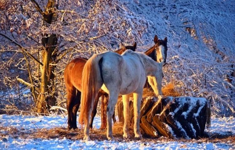 Выгул лошадей зимой