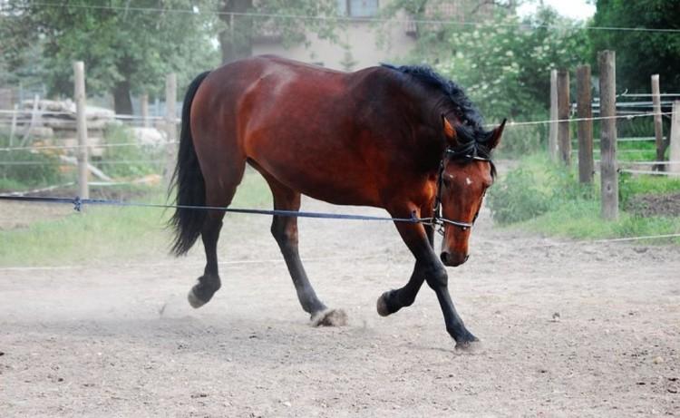 Обучение лошади на корде