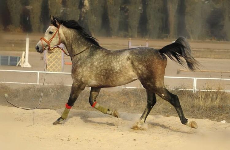 Приучение лошади к уздечке