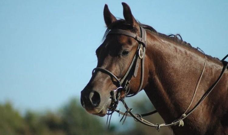 Лошадь в уздечке