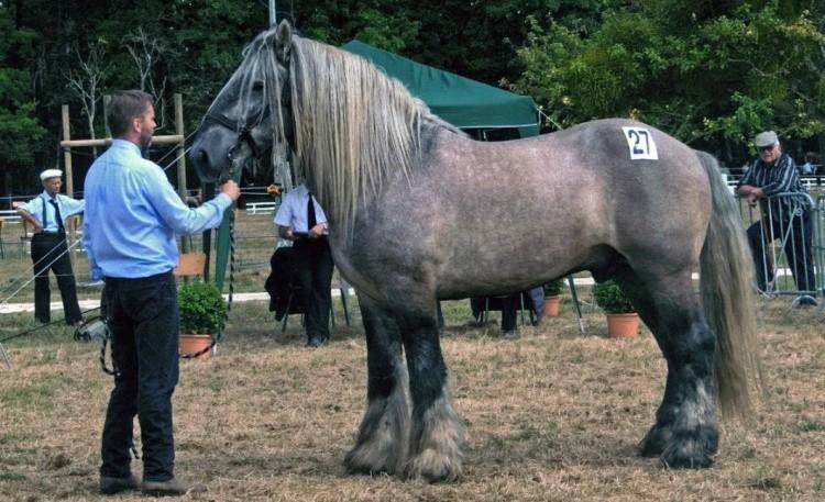 Пойтевин порода лошадей