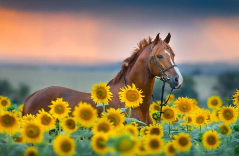 О лошади в подсолнухах