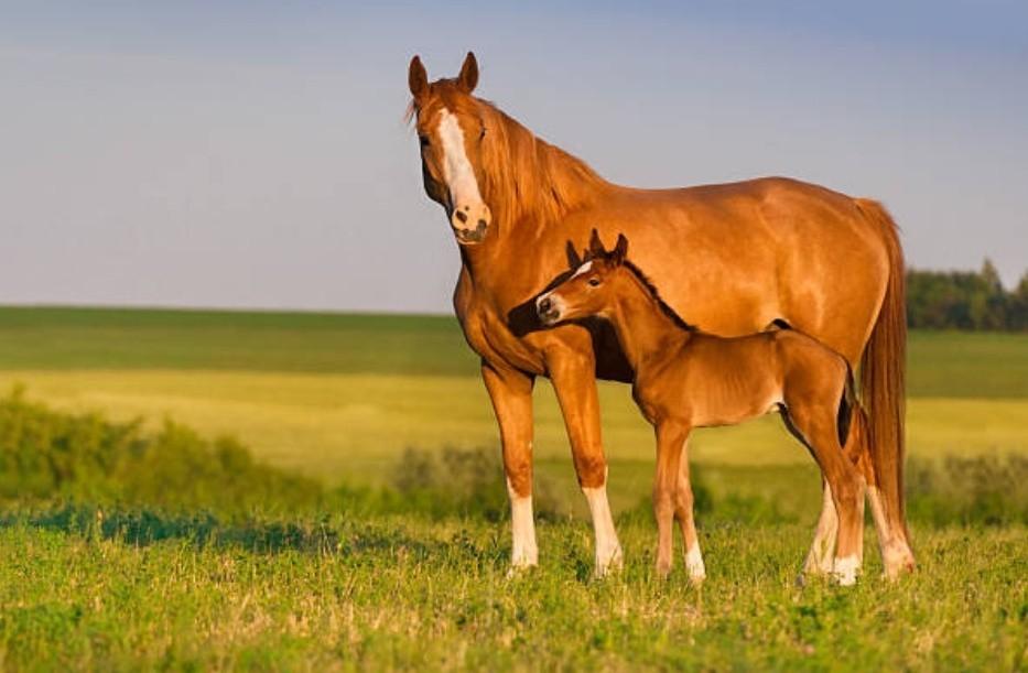 Селекция лошади