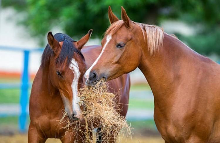 Лошади едят сено