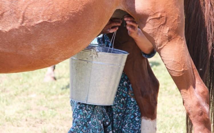 Дойка лошади фото