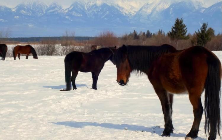 Бурятская лошадь