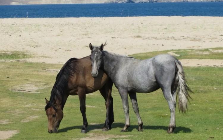 Степные породы лошадей