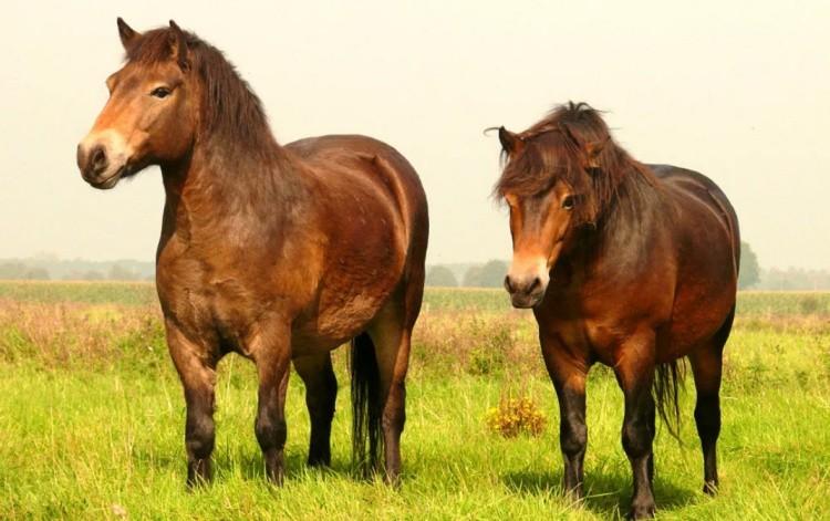 Гуцульская порода лошадей