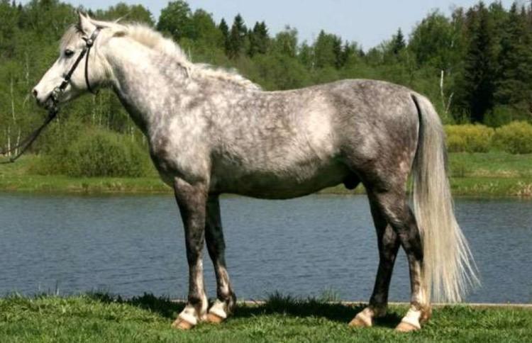 Локайская порода лошадей