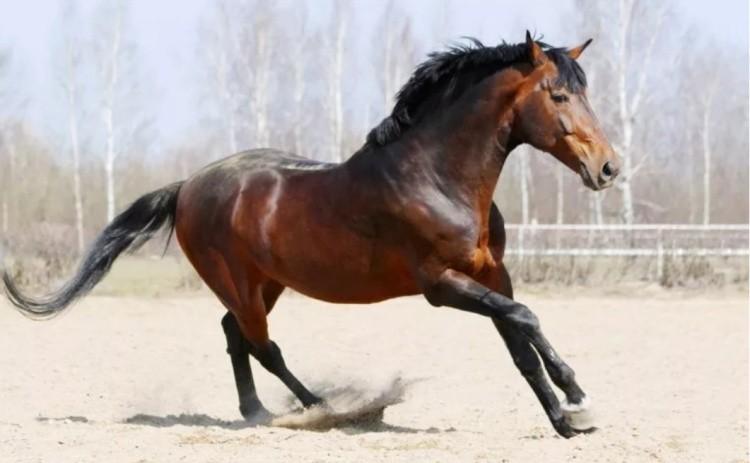 Лошадь верховой украинской породы