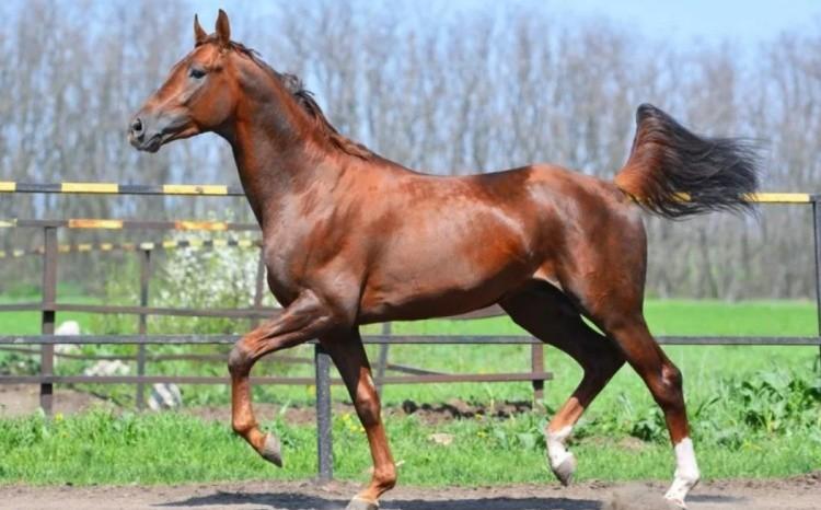 Лошадь буденовской породы