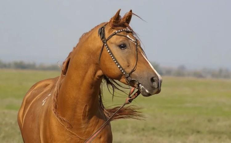 Донская порода лошадей фото