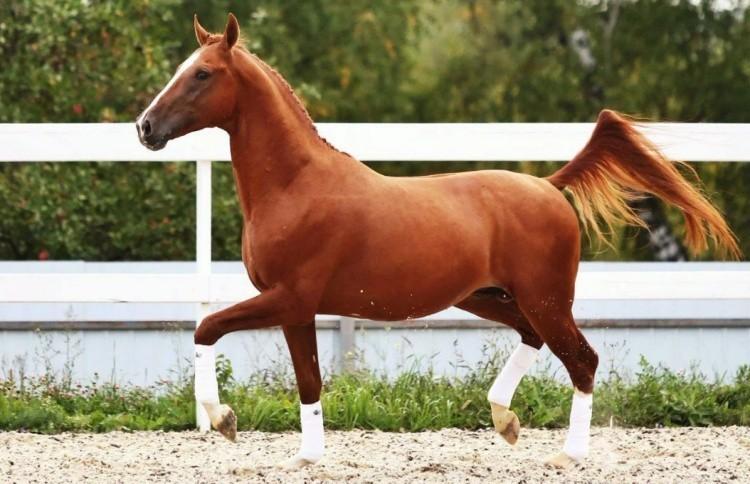 Лошадь донской породы
