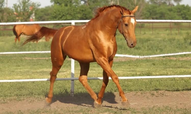 Лошади донская порода