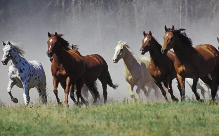 Верхово-упряжные породы лошадей
