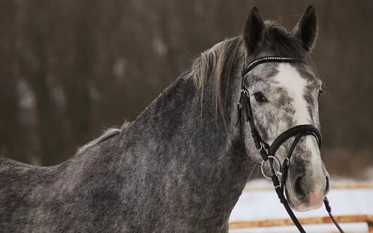 Орловская порода лошадей фото