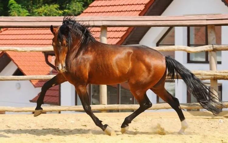 Лошадь породы Американская стандартбредная