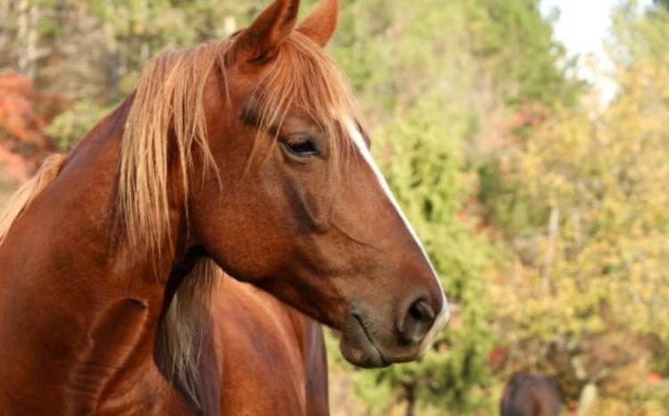 Упряжные породы лошадей