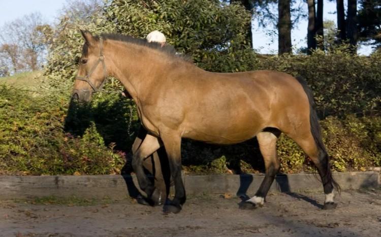 Жмудская порода лошадей фото
