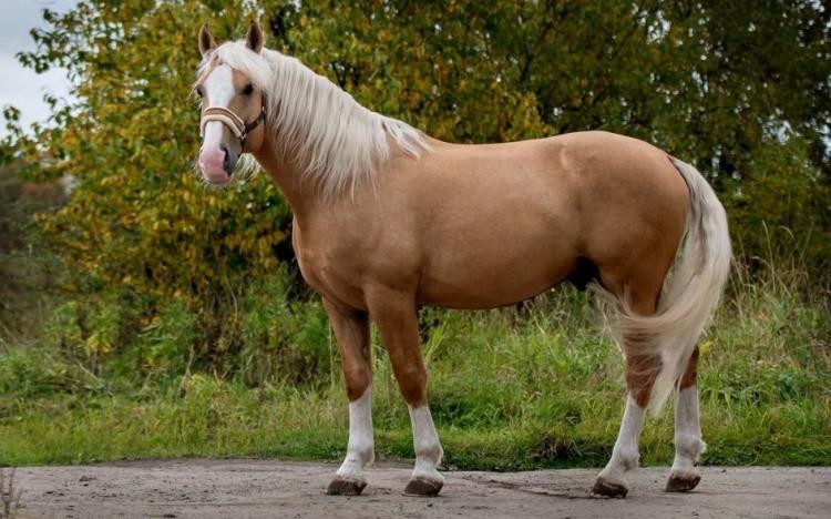 Торийская порода лошадей фото