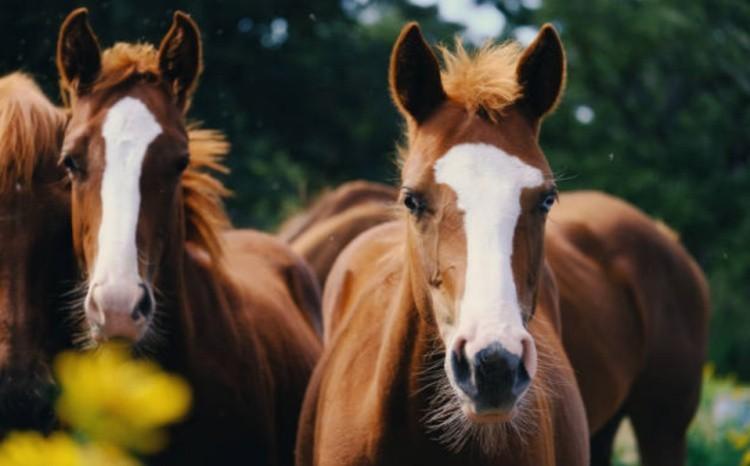 Лошадь молодняк