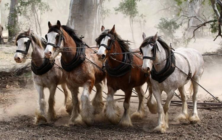Тяжеловозные породы лошадей фото