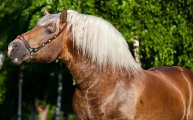 Советская тяжеловозная порода лошадей фото