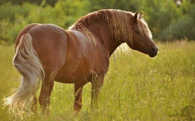 Лошадь породы Советская тяжеловозная