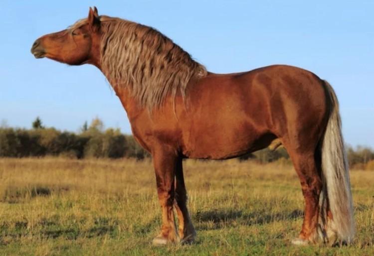 Советская тяжеловозная лошадь
