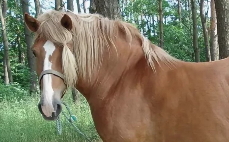 Литовская тяжеловозная порода лошадей фото