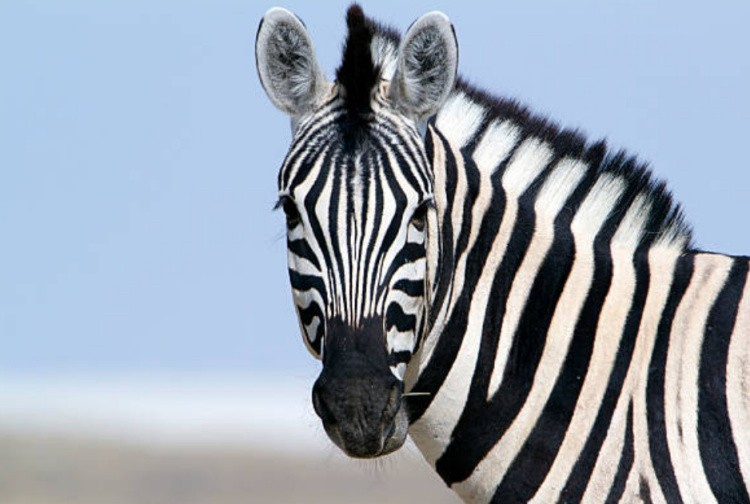 Полосатая зебра фото