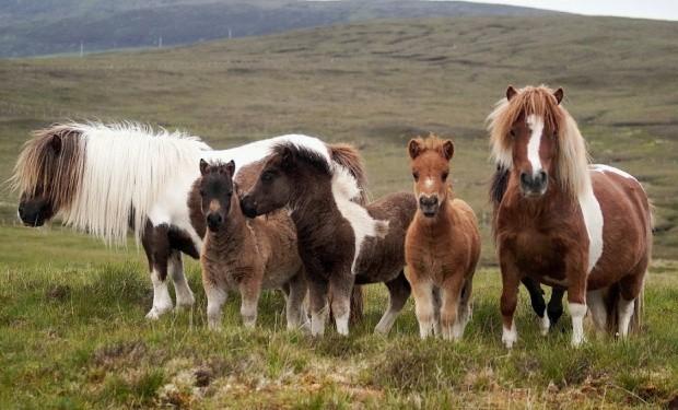 Шетлендская порода пони фото