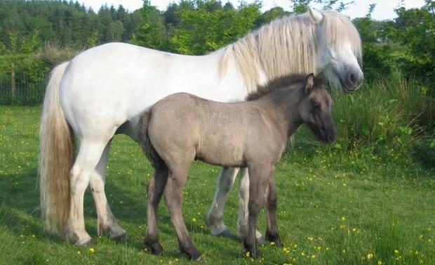 хайландские пони